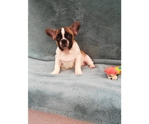 French Bulldog Puppy for Sale in TEMPE, Arizona USA