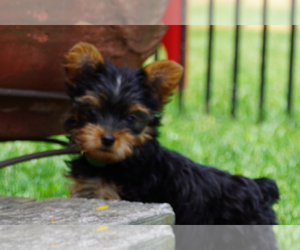 Yorkshire Terrier Puppy for sale in DENVER, PA, USA
