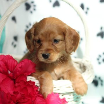 Cocker Spaniel-Poodle (Miniature) Mix puppy
