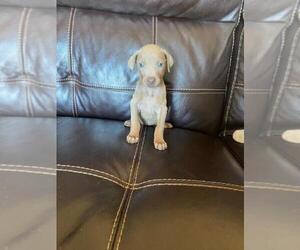 Doberman Pinscher Puppy for sale in FINLAYSON, MN, USA