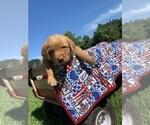 Puppy 7 Goldendoodle-Labrador Retriever Mix