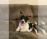 Puppy 0 Australian Cattle Dog-Jack Russell Terrier Mix