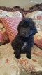 Aussiedoodle Puppy For Sale in AZLE, TX,