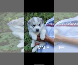 Siberian Husky Puppy for sale in KELSO, WA, USA