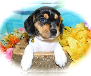 Beagle Puppy for Sale in HAMMOND, Indiana USA