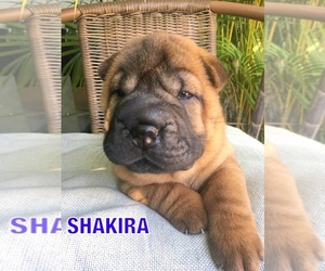 Chinese Shar-Pei Puppy for Sale in SARASOTA, Florida USA