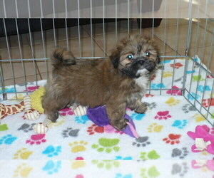 Lhasa Apso Puppy for Sale in ORO VALLEY, Arizona USA