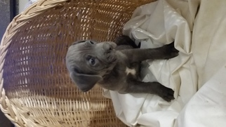 Cane Corso Puppy for sale in DENVER, CO, USA