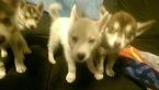 Siberian Husky Puppy For Sale in LUCEDALE, MS, USA