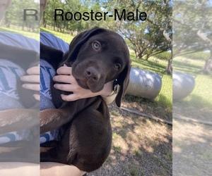 Labrador Retriever Puppy for sale in BOERNE, TX, USA
