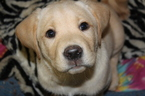 Labrador Retriever Puppy For Sale in LOVELADY, TX, USA