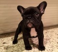 French Bulldog Puppy For Sale in EAGLE POINT, OR