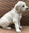 English Cream Golden Retriever  Puppy For Sale in SOUTHBURY, CT, USA