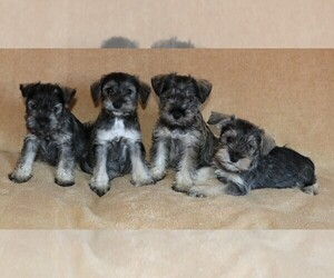 Schnauzer (Miniature) Puppy for sale in LAKESIDE, CA, USA