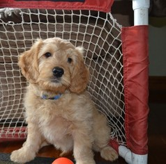 Golden Retriever-Poodle (Miniature) Mix Puppy For Sale in EAST EARL, PA