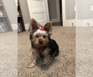 Yorkshire Terrier Puppy for Sale in TOPEKA, Kansas USA