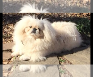 Father of the Pekingese puppies born on 03/11/2021