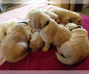 Golden Retriever Dogs for adoption in BROADWAY, VA, USA