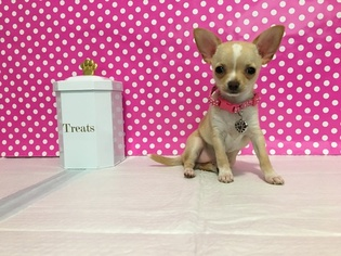 Chihuahua Puppy For Sale in AUSTIN, TX, USA