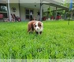 Small Photo #7 Australian Shepherd Puppy For Sale in CLARKSVILLE, TX, USA