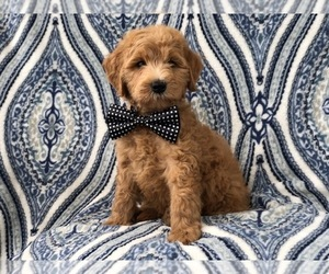 Goldendoodle-Poodle (Standard) Mix Puppy for sale in LAKELAND, FL, USA