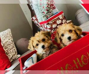 YorkiePoo Puppy for sale in CHICAGO, IL, USA