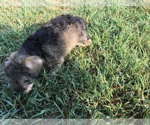 Schnoodle (Miniature) Dog for Adoption in AVA, Missouri USA