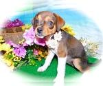 Small #1 Jack-Rat Terrier Mix