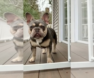 Father of the French Bulldog puppies born on 04/08/2021