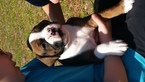 Boxer Puppy For Sale in WILMINGTON, NC