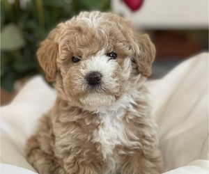 Labradoodle Puppy for Sale in CONOVER, North Carolina USA