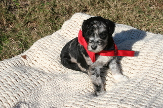 Puppies and Dogs for Sale in 36535, USA area