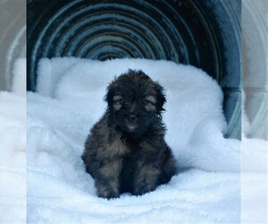 Aussie-Poo-Aussiedoodle Mix Puppy for sale in RITTMAN, OH, USA