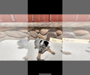 Australian Cattle Dog Puppy for sale in GRABILL, IN, USA