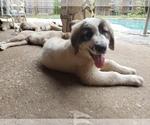 Small #415 Anatolian Shepherd-Maremma Sheepdog Mix