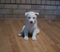 Siberian Husky Puppy For Sale in COLORADO SPRINGS, CO,