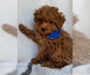 Poodle (Toy) Dog for Adoption in BUFFALO, Missouri USA