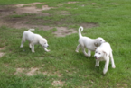 Akbash Dog-Great Pyrenees Mix Puppy For Sale in AMITE, LA, USA