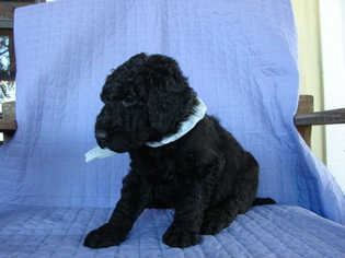 Poodle (Standard) Puppy For Sale in ROUND TOP, TX