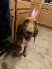 Mother of the Bloodhound puppies born on 12/10/2018