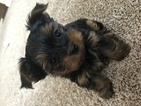 Yorkshire Terrier Puppy For Sale in MIDDLETOWN, CT