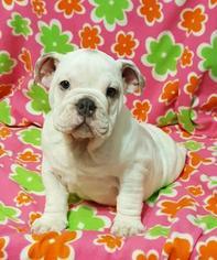 Bulldog Puppy For Sale in CHICAGO, IL, USA