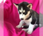 Siberian Husky Puppy For Sale in SMITHS GROVE, KY, USA