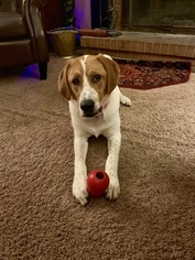English Foxhound Mix Dog for Adoption in KING, North Carolina USA