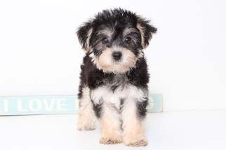 View Ad: Morkie Puppy for Sale near Florida, NAPLES, USA