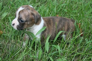 Boxer Puppy For Sale in MOUNT PERRY, OH