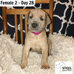 Great Dane Puppy For Sale in INWOOD, West Virginia,