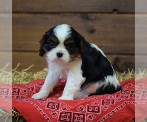Cavalier King Charles Spaniel Puppy for sale in NEWMANSTOWN, PA, USA