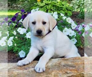 Labrador Retriever Puppy for sale in PARKESBURG, PA, USA