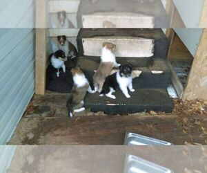 Collie Puppy for sale in BYRAM, MS, USA